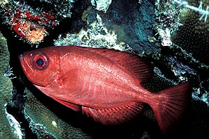 A Glass Eye Squirrelfish