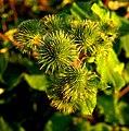 Prickly Plant - geograph.org.uk - 1414485.jpg