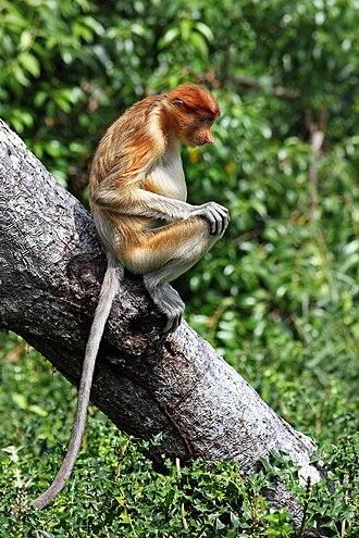 Proboscis monkey - Sitting on tree
