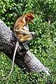 Proboscis monkey.jpg