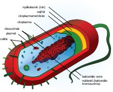 Prokaryote cell diagram hu.svg