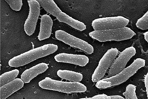 Providencia (bacterium) - Providencia alcalifaciens