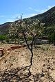 Prunus dulcis kz08.jpg
