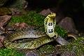 Pseudoxenodon macrops, Large-eyed bamboo snake - Doi Phu Kha National Park (48556791612).jpg