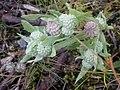 Psilocarphus elatior, meadow woollyheads.jpg