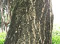Pterocarya stenoptera1.jpg