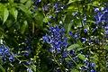 Purple Bellflower Blooms PLT-FL-TB-2.jpg
