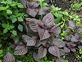 Purple Perilla foliage.JPG