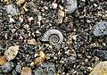 Pyrite Ammonite found below Black Ven (2).jpg