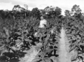 Queensland State Archives 4245 Tobacco crop showing Blue Mould 1933.png