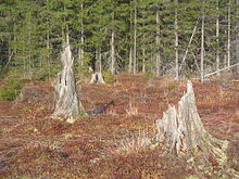 Four large, ragged, weathered stumps, pale with exposure to the elements, in a field of low, reddish vegetation, with evergreens in the background