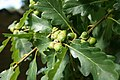 Quercus-petraea-acorns.jpg