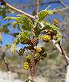 Quercus gambelii 4.jpg