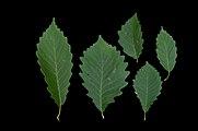 Quercus montana (23874892950).jpg