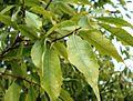 Quercus myrsinifolia - leaves.jpg
