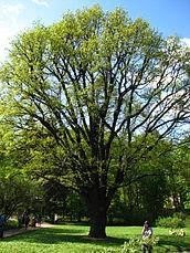 Quercus rob. 01.JPG