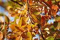Quercus serrata(2) (24038819222).jpg
