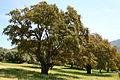 Quercus suber JPG1.jpg