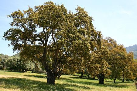 Quercus suber JPG1