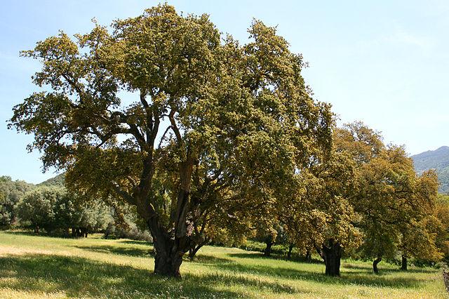 https://upload.wikimedia.org/wikipedia/commons/thumb/7/70/Quercus_suber_JPG1.jpg/640px-Quercus_suber_JPG1.jpg