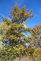 Quercus variabilis - Quarryhill Botanical Garden - DSC03254.JPG