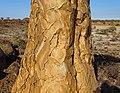 Quiver-Tree-Bark.JPG