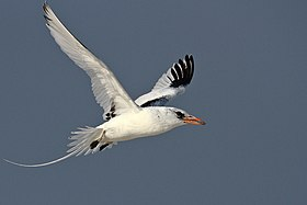 RED BILLED TROPIC BIRD.jpg