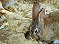 Rabbit خرگوش 03.jpg