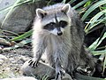 Raccoon (36842117894).jpg
