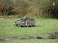 Ragondins juvéniles (Myocastor coypus) (2).jpg