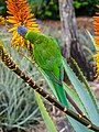 Rainbow lorikeet and Aloe sp Brisbane Botanic Gardens Mt Coot-tha P1030137.jpg