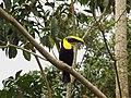 Ramphastos ambiguus -Costa Rica-8a.jpg