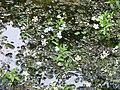 Ranunculus cf aquatilis MS 2482.JPG