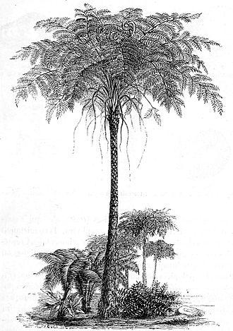 Psaronius - Reconstruction of Psaronius, Illustrated by Auguste Faguet (1877)