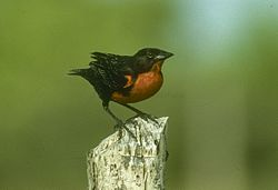 Red-breasted Blackbird - Venezuela 90Image53 (23593622680).jpg