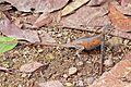 Red-headed rock agama (Agama agama) female 2.jpg