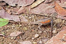 Red-headed rock agama (Agama agama) female 2.jpg