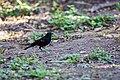 Red-winged blackbird (46772351901).jpg