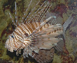 Red Lionfish Pterois volitans Left Side 2460px.jpg