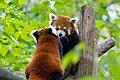 Red Panda (37661243025).jpg