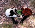 Red Ruffed Lemur Black and white Ruffed Lemur.jpg