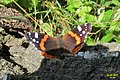 Red admiral (NH) (7911598342).jpg