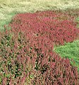 Red goosefoot at Coalhouse Fort salt marsh - geograph.org.uk - 1296004.jpg