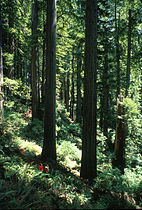 Redwood and people 02.jpg