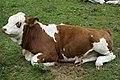 Relaxende Kühe am Wegesrand Seebachtal 20190820 016.jpg