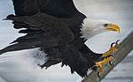 Rescued bald eagles call Yukla 27 Memorial Park home 141208-F-LX370-148.jpg