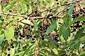 Rhede - Emsaltarm Borsum + Prunus serotina 02 ies.jpg