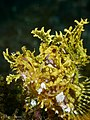 Rhinopias frondosa (26573616410).jpg