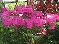 Rhododendron 'Yuriy Gagarin' 05.JPG