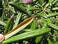 Rhododendron degronianum 2.JPG